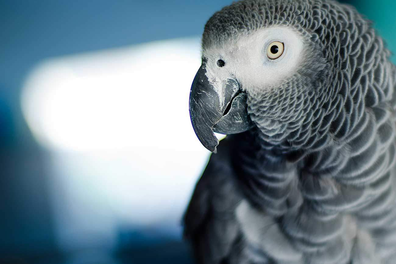 African Grey parrot (Image: © Bigstock)
